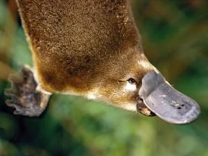 Platypus Picture