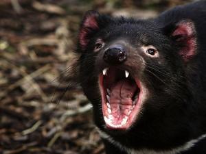 Tasmanian Devil Picture