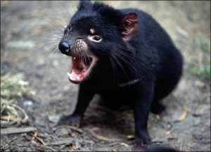 Images of Tasmanian Devil