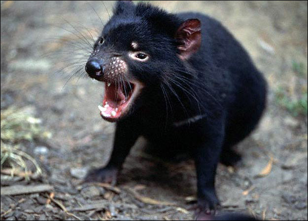 Tasmanian Devil - Facts, Pictures, Diet, Sounds and Video ...