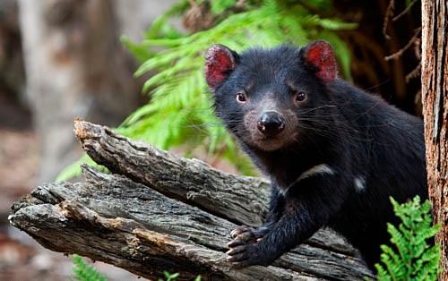 Tasmanian Devil Predators