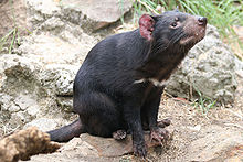 Pictures of Tasmanian Devil