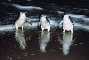 Images of Fairy Penguin