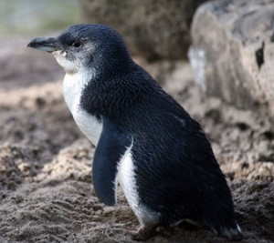 Photos of Fairy Penguin