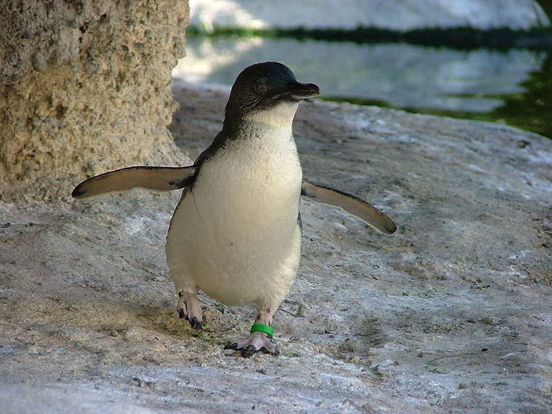 Fairy Penguin Picture