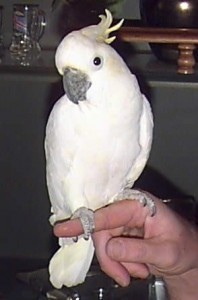 Sulphur Crested Cockatoo Picture