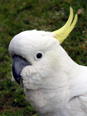 Sulphur Crested Cockatoo | Australian Animals