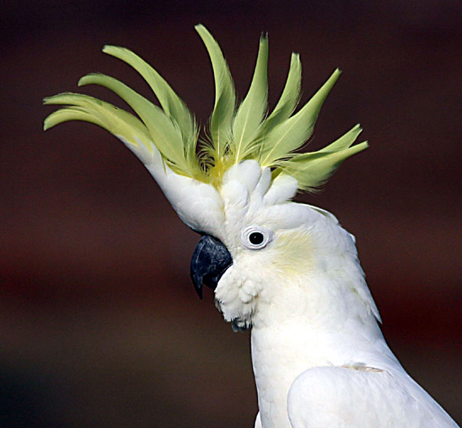 Pictures of Sulphur Crested Cockatoo