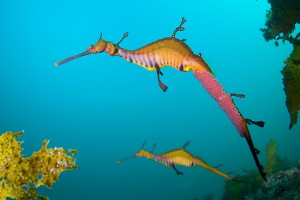 Photos of Weedy Sea Dragon