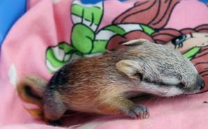 Image of Baby Numbat
