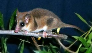 Images of Marsupial Mouse