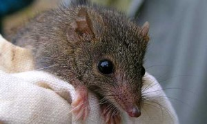 Photos of Marsupial Mouse