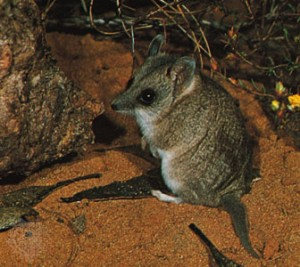 Pictures of Marsupial Mouse
