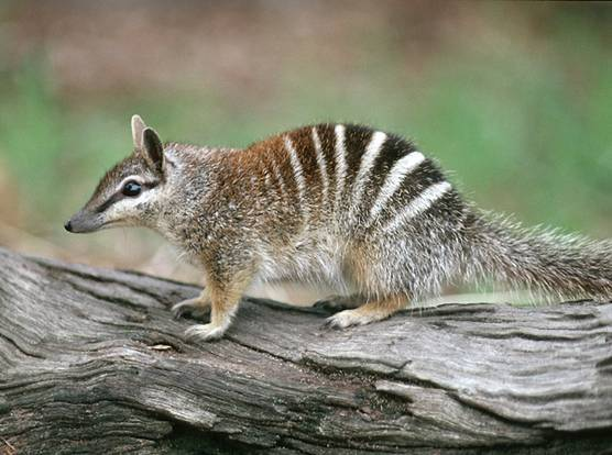 The Numbat Ask An Aussie
