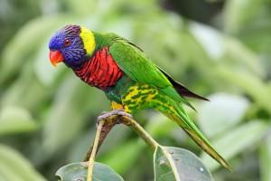 Rainbow Lorikeet Picture