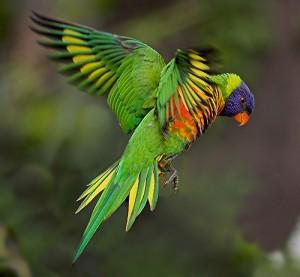 Rainbow Lorikeet Flying Photo