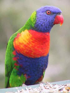 Images of Rainbow Lorikeet