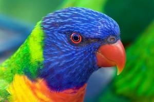 Pictures of Rainbow Lorikeet