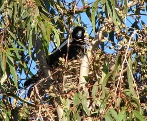 Australian Magpie Nest Photo