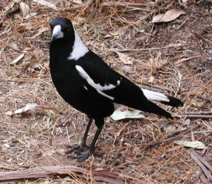 Pictures of Australian Magpie