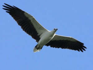 Flying White Bellied Sea Eagle Image