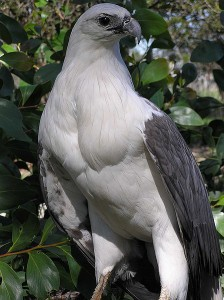 White Bellied Sea Eagle Picture