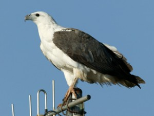 Images of White Bellied Sea Eagle