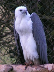Photos of White Bellied Sea Eagle