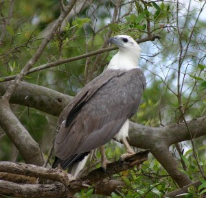 Pictures of White Bellied Sea Eagle