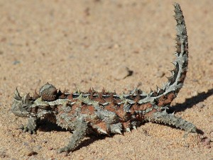 Photos of Thorny Devil
