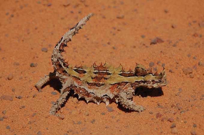Picture of Thorny Devil