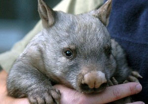 Baby Northern Hairy Nosed Wombat Image