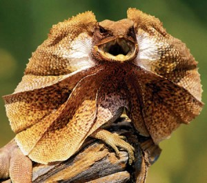 Frilled Lizard Picture