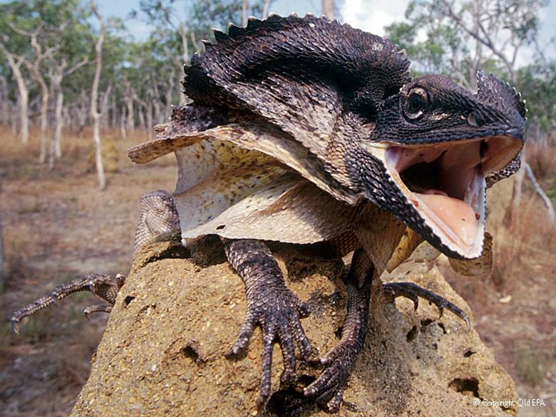 Frilled Lizard (Chlamydosaurus kingii) « Australian Animals