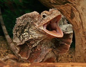 Photos of Frilled Lizard