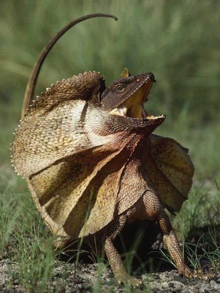 Frilled Lizard (Chlamydosaurus kingii) « Australian Animals