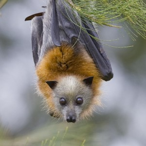 Grey Headed Flying Fox Picture