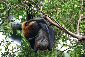 Images of Grey Headed Flying Fox