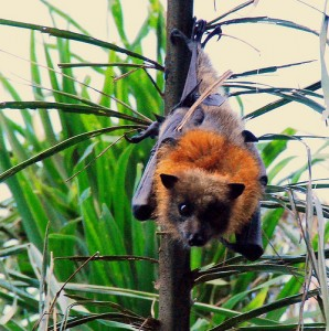 Pictures of Grey Headed Flying Fox