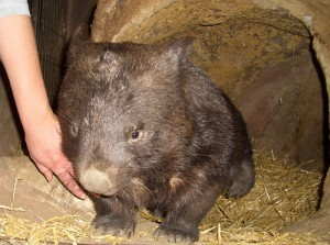Northern Hairy Nosed Wombat Picture