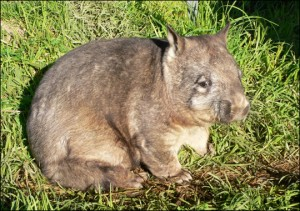 Photos of Northern Hairy Nosed Wombat