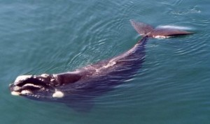 Images of Southern Right Whale