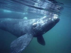 Photos of Southern Right Whale