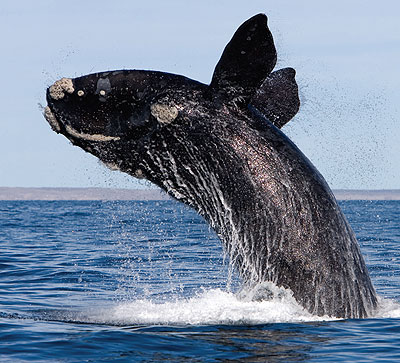 Southern Right Whale « Australian Animals
