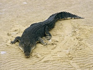 Images of Saltwater Crocodile