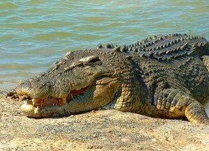 Photos of Saltwater Crocodile