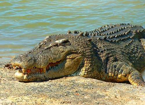 Photos of Saltwater Crocodile