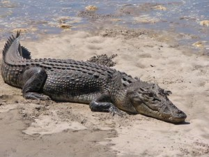 Picture of Saltwater Crocodile
