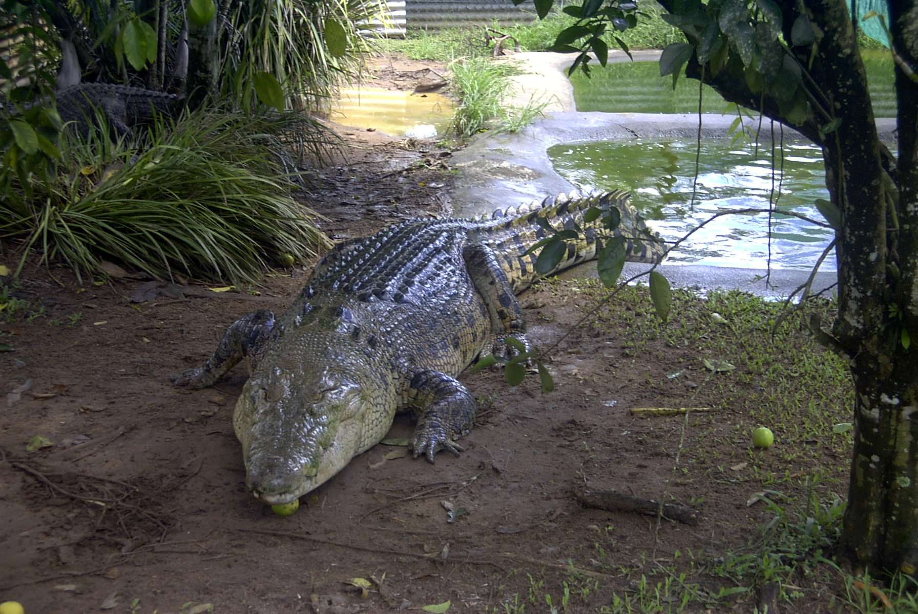australian saltwater crocodiles Marine biologists have been pondering a particularly painful-sounding question: how hard do alligators and crocodiles bite the answer is a bite force value of 3,700 pounds for a 17-foot.