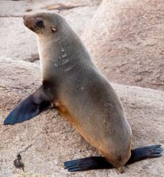 Images of Australian Fur Seal